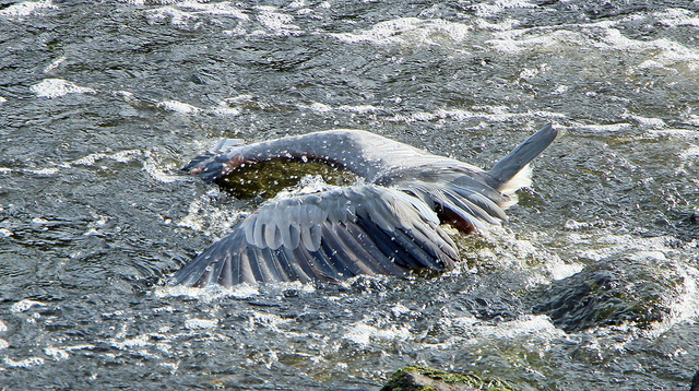Blue heron fish images for Watertown fishing report