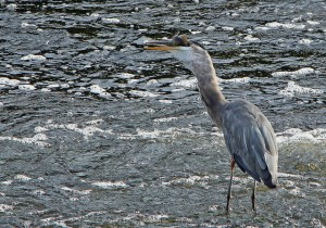 A Blue Heron Catching a Fish at the Watertown Dam