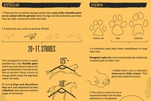 A Very Cool Infographic on Cheetahs